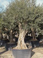 olivenbaum sortiments bersicht olivenbaum olivenbaum spezialist. Black Bedroom Furniture Sets. Home Design Ideas