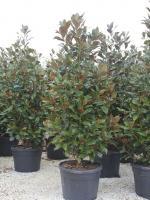 """Magnolia grandiflora """"Gallisoniensis"""""""
