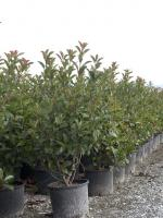 "Photinia fraseri ""Red robin"""