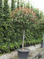 "Photinia fraseri ""Red robin"" bolkroon"