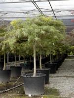 """Acer palmatum dissectum """"Viride"""""""