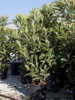 Eriobutrya japonica