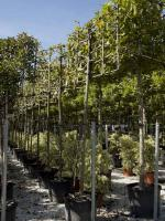 "Morus platanifolia ""Fruitless"""