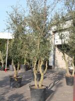 Quercus suber (Bestseller!)