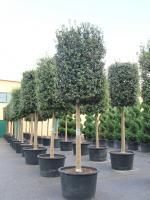 Quercus ilex cylinderkroon