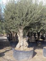 "Olea europaea ""Regional"" Full-size uit Pyreneeën"