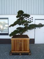 Taxus cuspidata (leeftijd 90 jaar)