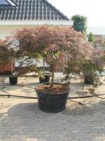 """Acer palmatum dissectum """"Atropurpureum"""""""