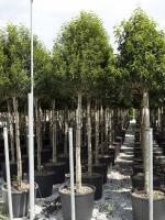 """Prunus lusitanica """"Angustifolia"""""""