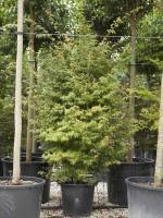 "Acer palmatum ""Viride"""