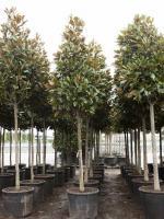 "Magnolia grandiflora ""Gallisoniensis"" pyramidekroon"