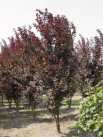 Prunus cerasifera