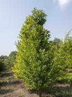 Magnolia kobus