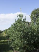 Pinus peuce