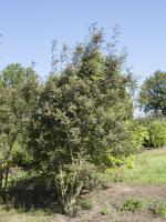 Sorbus vilmorinii