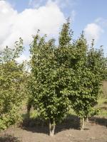 Prunus hillieri