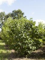 Syringa vulgaris cultivar