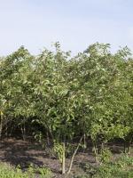 Prunus serrulata