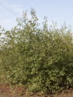 Frangula alnus