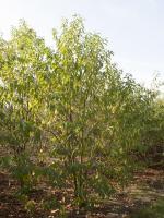 Prunus maackii