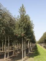 Crataegus prunifolia