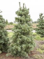 Pinus parviflora