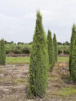 Juniperus communis 'Arnold'