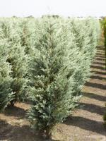 Juniperus scopulorum 'Moonglow'