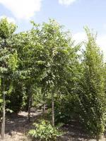 Pterocarya fraxinifolia