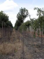 Prunus eminens