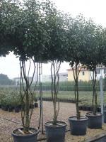 groenblijvende meerstammige bomen groenblijvende. Black Bedroom Furniture Sets. Home Design Ideas