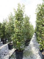 zuilvormige bomen zuilbomen productoverzicht. Black Bedroom Furniture Sets. Home Design Ideas
