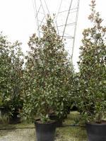 Groenblijvende heester | Wintergroene heester | Bladhoudende heester ...: bomen.nl/assortiment-specifieke-productgroepen/groenblijvende-heesters